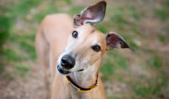 http://www.vetstreet.com/dogs/greyhound